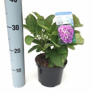 """Hydrangea Macrophylla """"Renate"""" boerenhortensia"""