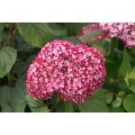 "Hydrangea Arborescens ""Pink Annabelle""® sneeuwbalhortensia"