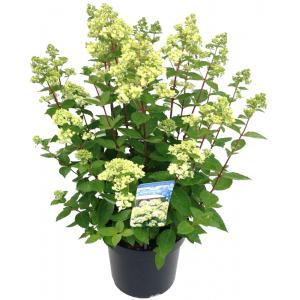 """Hydrangea Paniculata """"Bombshell""""® pluimhortensia"""