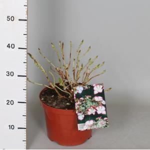 "Hydrangea Macrophylla ""Hovaria Love You Kiss"" schermhortensia"