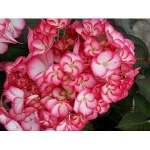 """Hydrangea Macrophylla """"Hovaria Mirai"""" boerenhortensia"""
