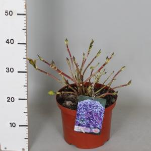 "Hydrangea Macrophylla ""Hovaria Hopcorn"" boerenhortensia"