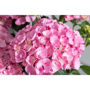 "Hydrangea Macrophylla ""Hovaria Sweet Fantasy"" boerenhortensia"