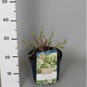 """Hydrangea Macrophylla """"Magical Noblesse""""® boerenhortensia"""
