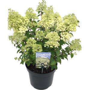 """Hydrangea Paniculata """"Bobo""""® pluimhortensia"""