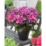 """Hydrangea Macrophylla """"Black Diamond® Dark Angel Purple""""® schermhortensia"""