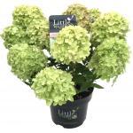 "Hydrangea Paniculata ""Little Lime""® pluimhortensia"