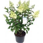 """Hydrangea Paniculata """"Silver Dollar"""" pluimhortensia"""