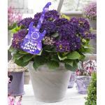"Hydrangea Macrophylla Music Collection ""Deep Purple Dance""® boerenhortensia"