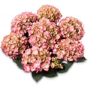 "Hydrangea Macrophylla Classic® ""Adula Pink""® boerenhortensia"