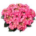 "Hydrangea Macrophylla Classic® ""Tiffany Pink""® schermhortensia"
