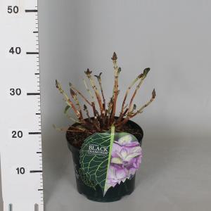 "Hydrangea Macrophylla ""Black Diamond® Baroque Angel Blue""® boerenhortensia"