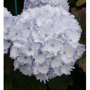 "Hydrangea Macrophylla ""Charming® Claire Blue""® boerenhortensia"