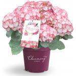 "Hydrangea Macrophylla ""Charming® Lisa Pink""® boerenhortensia"