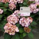 "Hydrangea Macrophylla ""Kanmara De Beauty Roze""® boerenhortensia"