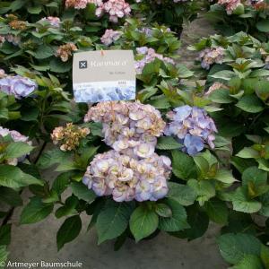 "Hydrangea Macrophylla ""Kanmara de Beauty Lila""® boerenhortensia"
