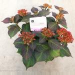 """Hydrangea Macrophylla """"Kanmara De Beauty Rozé""""® boerenhortensia"""