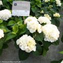 """Hydrangea Macrophylla """"Kanmara De Beauty White""""® boerenhortensia"""