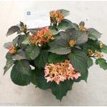 "Hydrangea Macrophylla ""Kanmara De Beauty Champagne""® boerenhortensia"