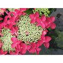 "Hydrangea Macrophylla Classic® ""Lady In Red""® schermhortensia"