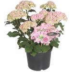 "Hydrangea Macrophylla ""Double Flowers Pink""® boerenhortensia"