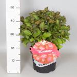 """Hydrangea Macrophylla Classic® """"Selma""""® boerenhortensia"""