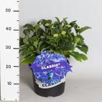 """Hydrangea Macrophylla Classic® """"Fripon Blue""""® boerenhortensia"""