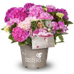 "Hydrangea Macrophylla ""Three Sisters""® Pink boerenhortensia"