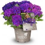 "Hydrangea Macrophylla ""Three Sisters""® Violett boerenhortensia"