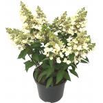 "Hydrangea Paniculata ""Magical Vesuvio""® pluimhortensia"