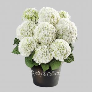 """Hydrangea macrophylla """"White""""® boerenhortensia"""